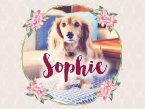 Meet Sophie, the Delightful Dachshund Muse