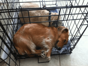 Loved sleeping in her crate with Pudgy